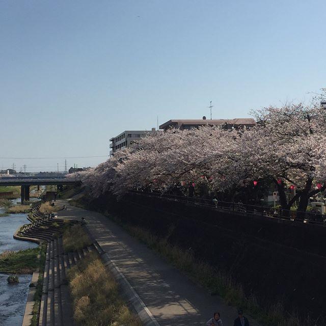 柏尾川は満開の桜です。